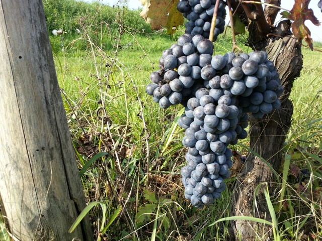 grappolo barbera vendemmia